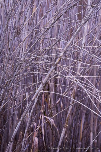 Old reed at Lake Hodges, Rancho Bernardo, San Diego, California. January 2016.