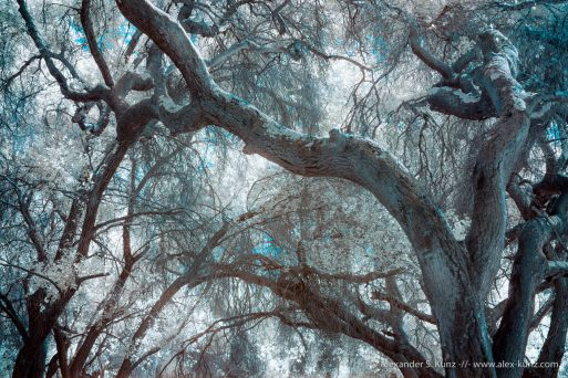 Coast Live Oak branches, infrared. Bluesky Ecolological Preserve, Poway, California. May 2016.
