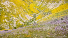 Millions of Hillside Daisies flow down slopes of the gorges and ravines of the Temblor Range, Carrizo Plain National Monument, California, April 2017.