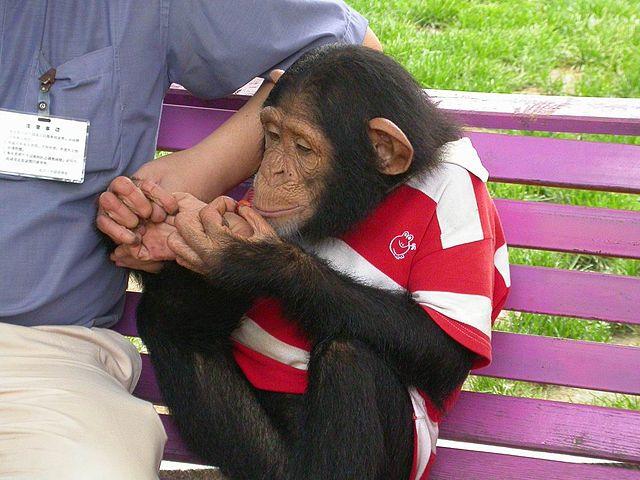 snowyowls - Schimpanse auf der Bank (Wikimedia unter CC 3.0 BY-SA)