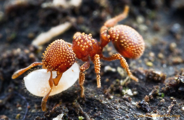 A Calyptomyrmex worker rescues a larva when her nest is disturbed by the photographer. The function of the ornate, spatulate hairs is unknown.  Kibale forest, Uganda