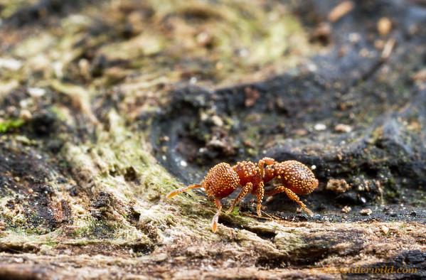 Calyptomyrmex  Kibale forest, Uganda