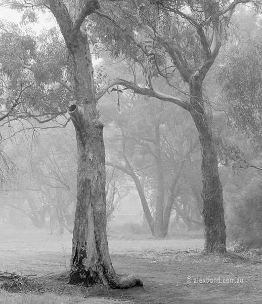 Morning mist woodlands Canning River Perth