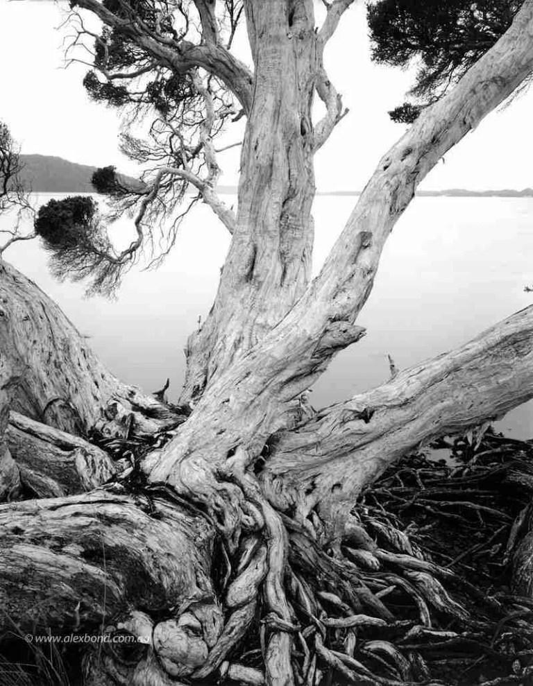 Paperbark tree Walpole Nornalup Australia
