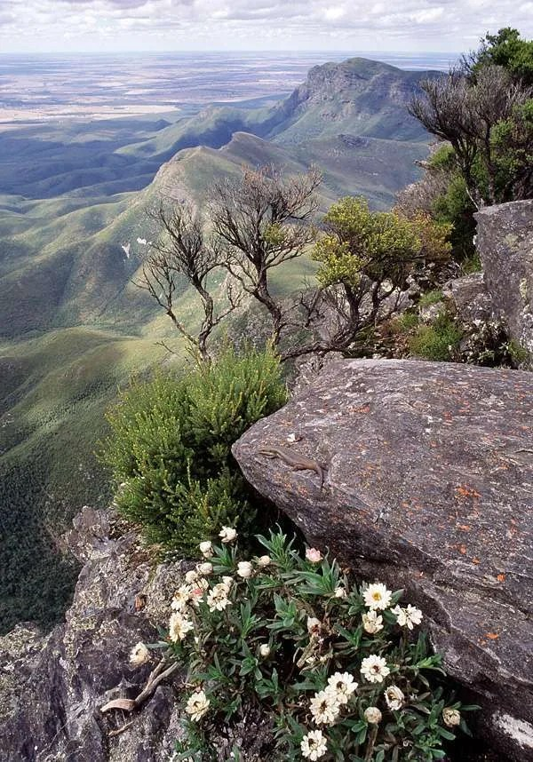 Bluff_Knoll_Skink_Stirling_Range