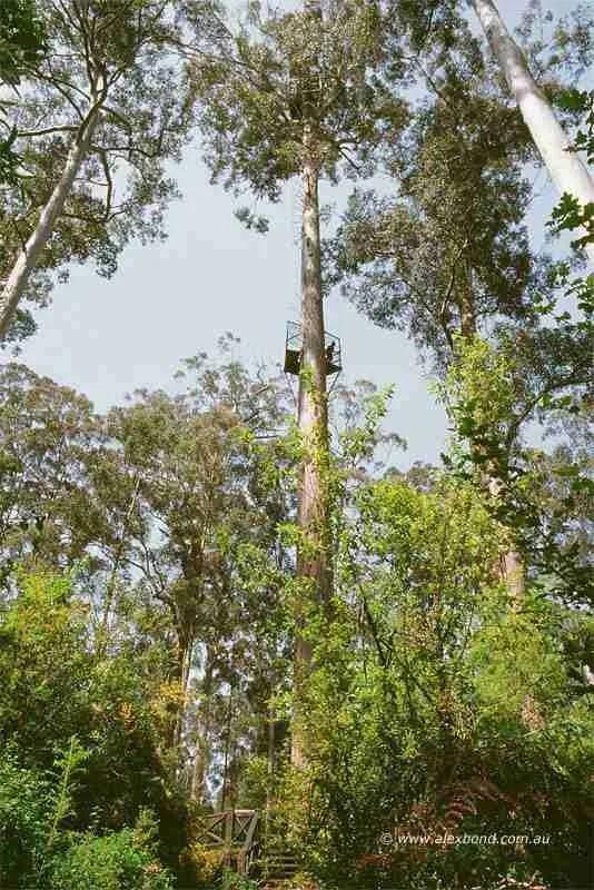 Bicentennial karri tree, 75 metres,  Warren National Park