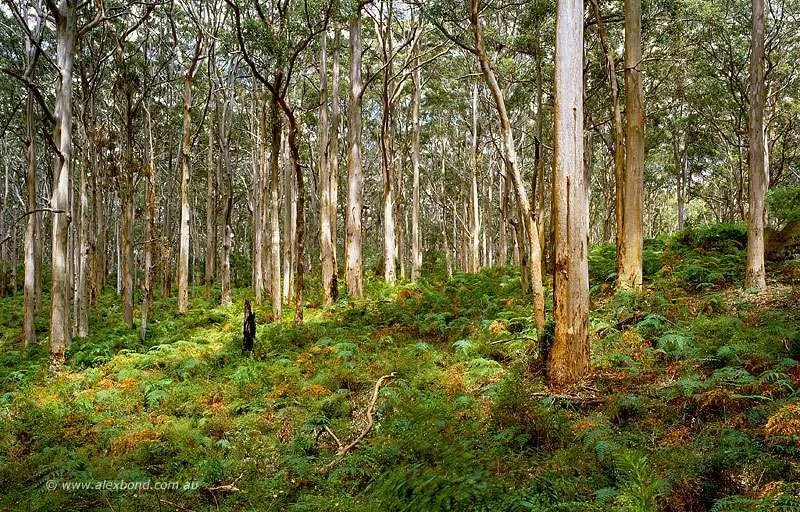 Karri forest Boranup Margaret River from Leeuwin Naturaliste Postcard Series