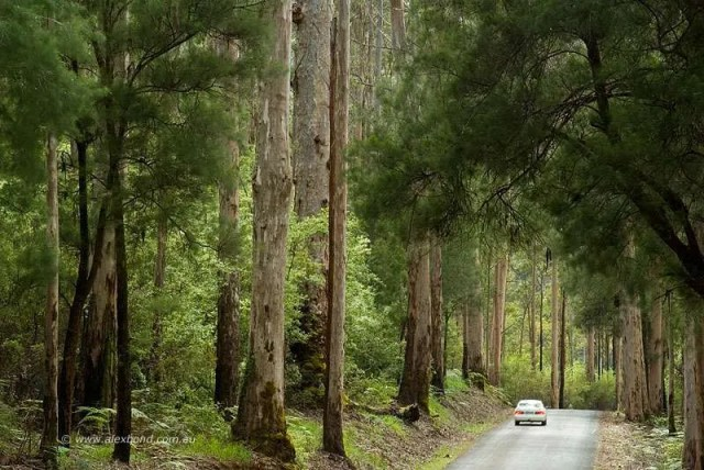 car driving karri forest pemberton