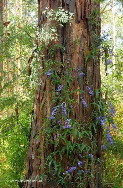 Wildflowers, karri forest, Pemberton