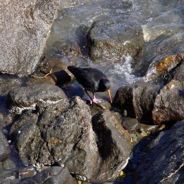 Our first oystercatcher sighting