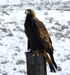 Golden Eagle, February 6th, 2014