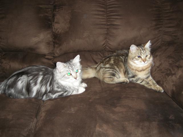 Montana Hypoallergenic Cats  Exotic  Siberian Cat For Sale MT