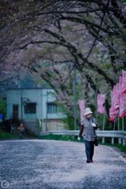Cherry blossom in Fukushima, 2012