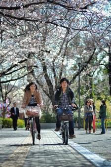 A couple cycling through blossom, Tokyo