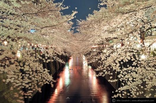 hanami08_nakameguro015