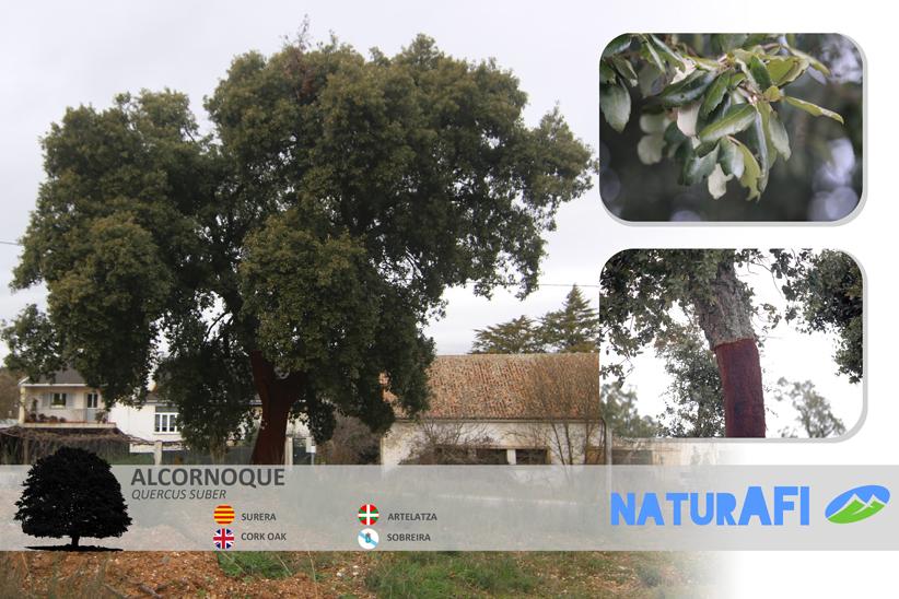 Alcornoque