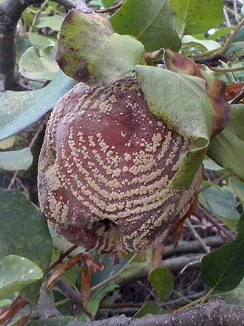 mela-cotogna-saison