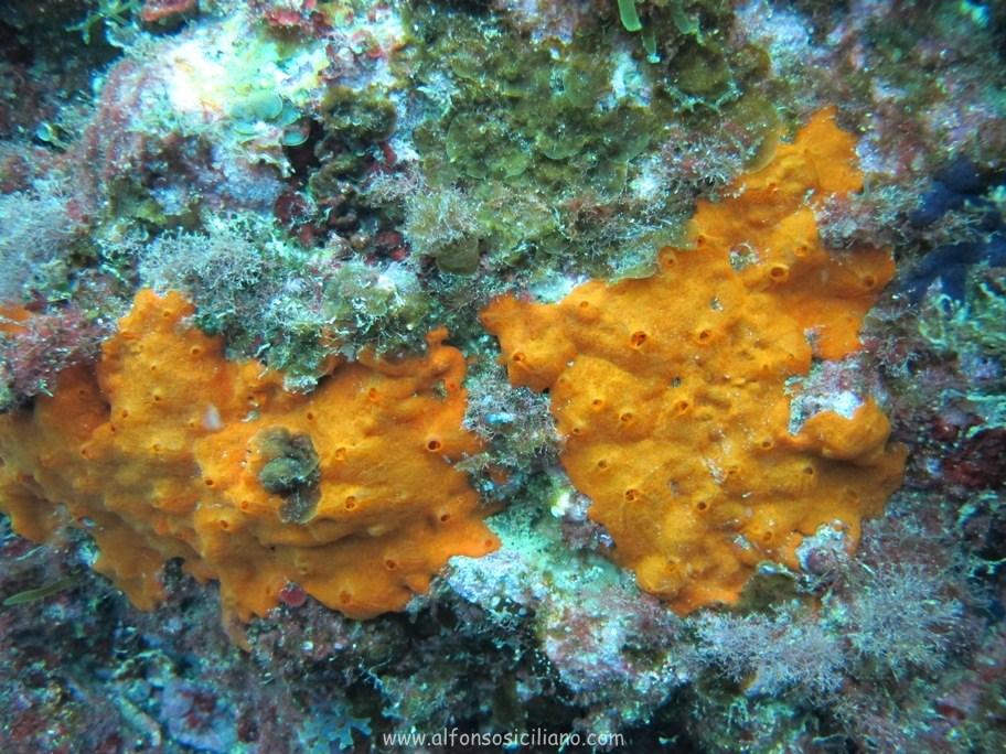 Alfonso Siciliano  Phylum Porifera