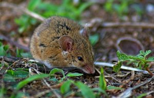 Ratolí Juvenil - Accipiter Gentilis