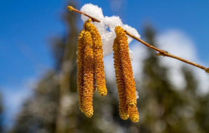 flores del avellano