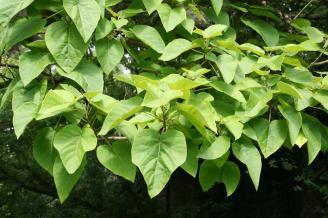 Paulownia tomentosa - Detalle hojas