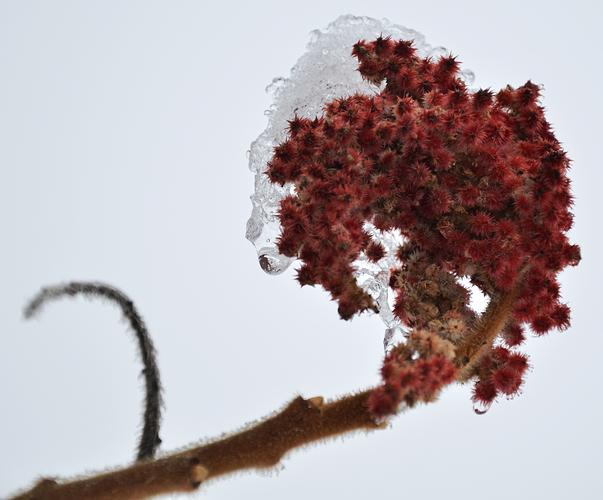 Eisiger Essigbaum