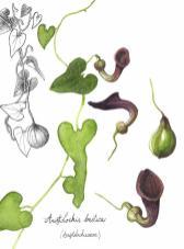 dessin botanique, alice heit, aquarelle, herbier