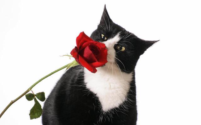 romance, love, cat, rose, true love