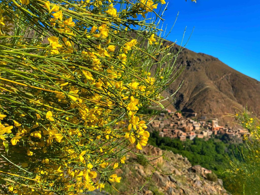 Corona lockdown in Morocco eased. Hike to Tizi Mizik. Broom in flower