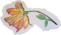 a-rose-sketched