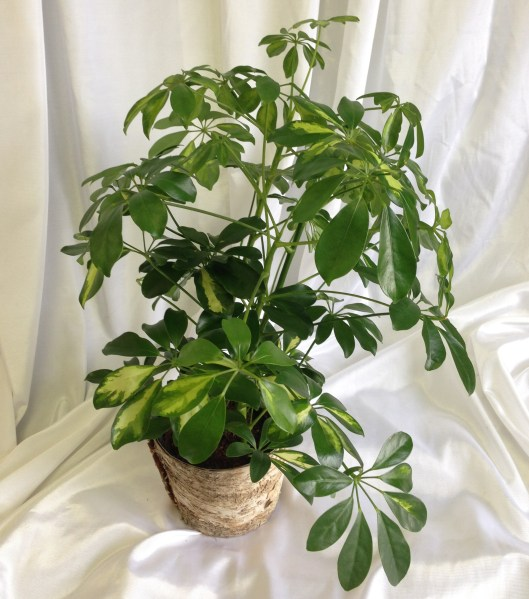 Schefflera or Umbrella Tree