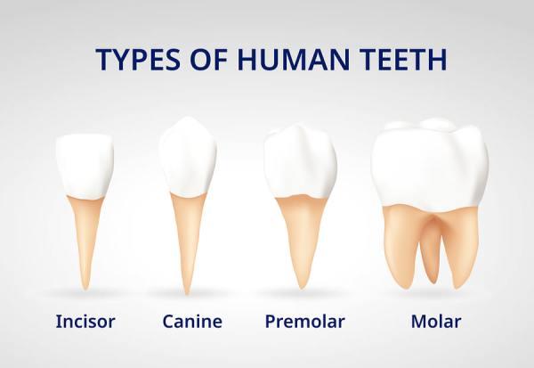 types of human teeth