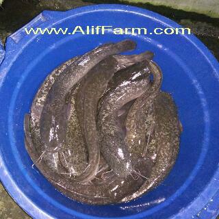 induk ikan lele mutiara