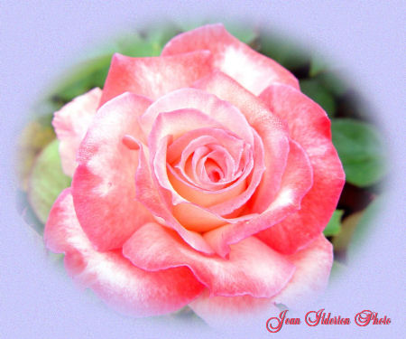A Rose In Bloom...........