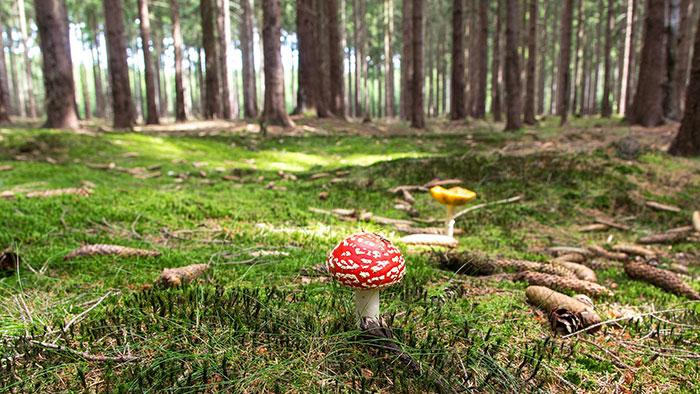 magic mushroom foraging