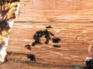 ants on oak chunk
