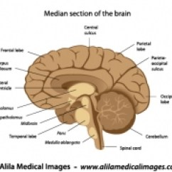 Labelled Diagram Of Human Brain 2003 Dodge Grand Caravan A C Wiring And Nervous System Gallery Medical Information Illustrated Anatomy Labeled
