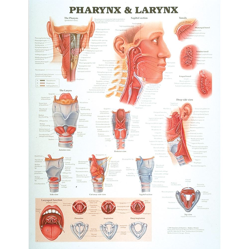 medium resolution of throat diagram including larnyx