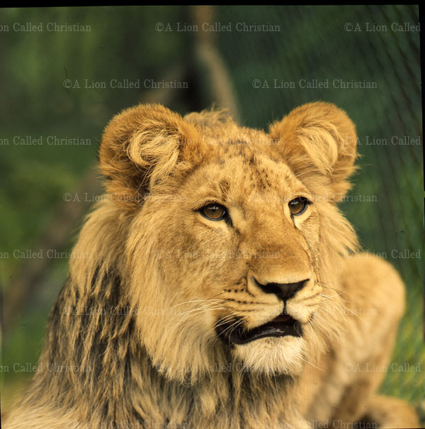 Gallery  A Lion Called ChristianA Lion Called Christian
