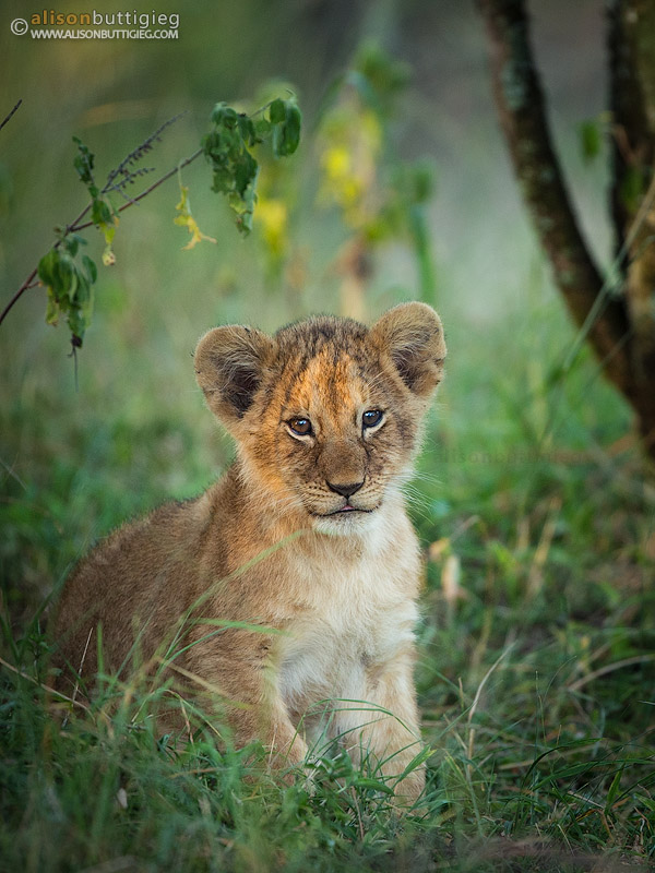Real Hd Wallpapers 1080p The Sweetest Little Lion Cub Alison Buttigieg Wildlife