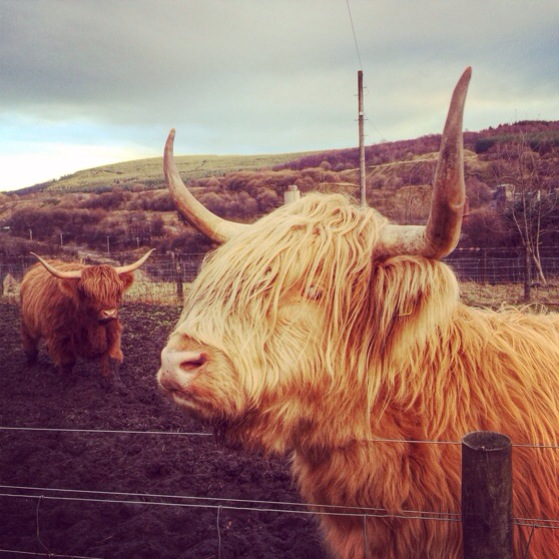 Heilan Coos, Highland Cows, Snapshots of Scotland in Winter