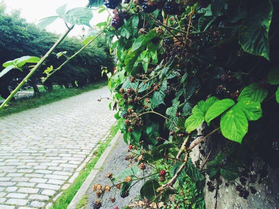 Chasing Daylight, Blackberries, September, Scotland