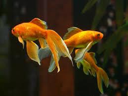 veiltailed goldfish
