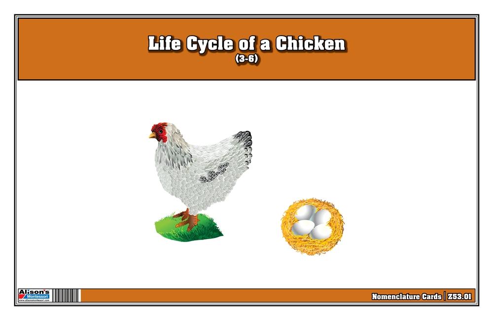 Chicken Life Cycle Color