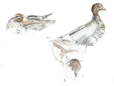 28Dec15 ducks2cropped 3