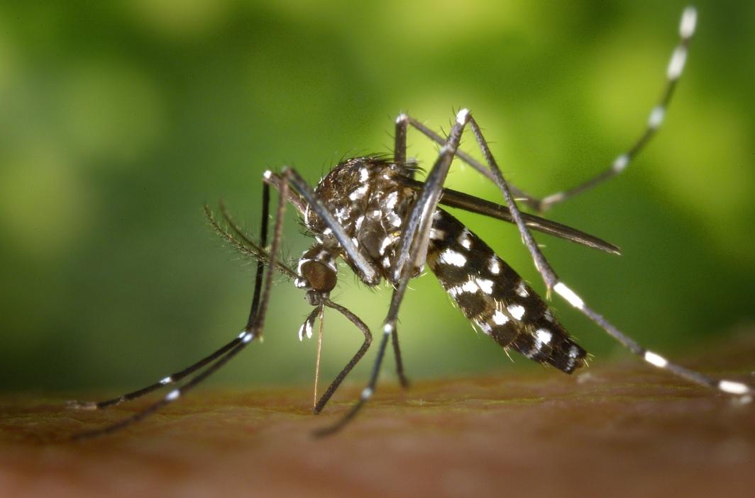 Ejemplar de mosquito asiático, uno de los tipo de mosquitos que pueden transmitir la fiebre del Nilo Occidental.