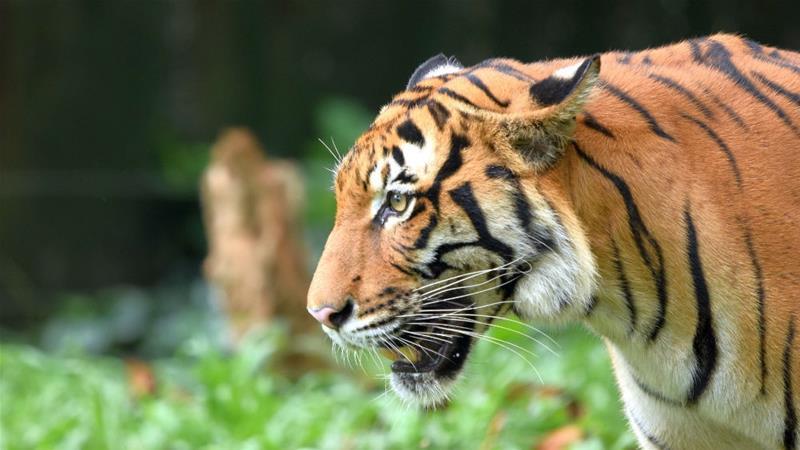 malayan tiger in crisis