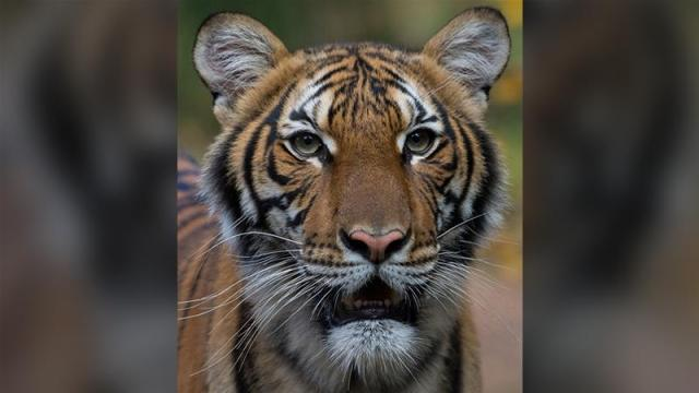 Coronavirus: Bronx Zoo tiger tests positive for COVID-19