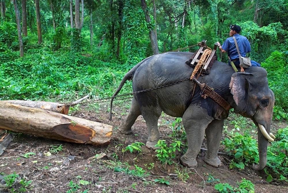 In pictures Myanmars timber elephants   Al Jazeera