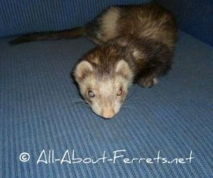 Cataracts & Blindness in Ferrets